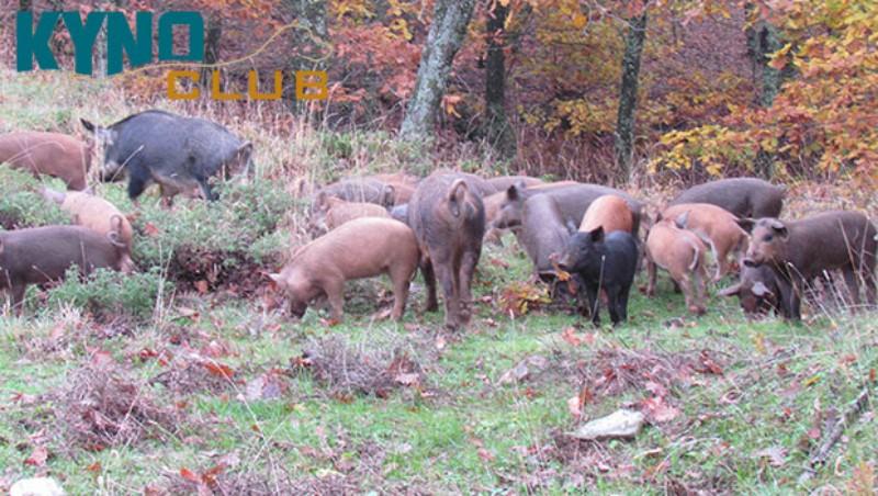Προσοχή: Κρούσματα πανώλης σε αγριογούρουνα και οικόσιτους χοίρους. Τι πρέπει να γνωρίζετε